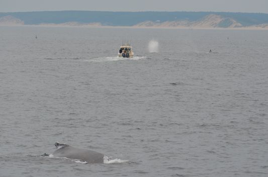big humpback whale