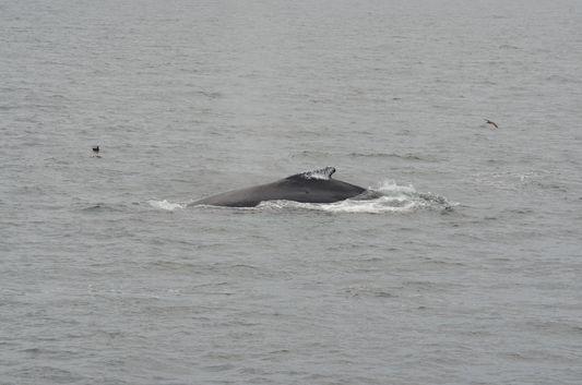 humpback whale watch in Cape Cod