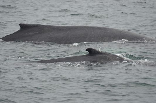 whale watch in Provincetown