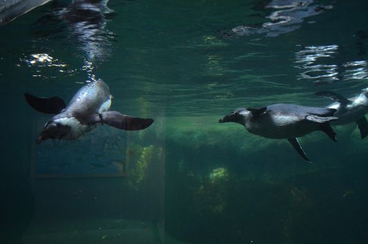 cute penguins in the Budapest ZOO
