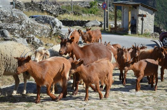 goats in Castanheira village