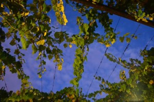 grapes at the entrance to Taylor's