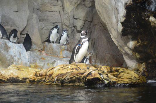 Magellanic penguins in the aquarium