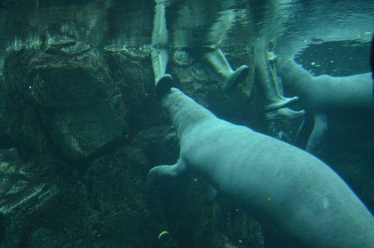 feeding manatees in Acquario di Genova