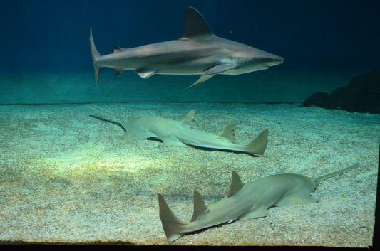 sharks in the Acquario di Genova