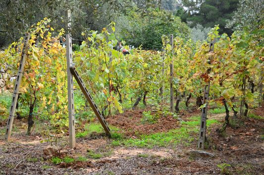 Sacone vineyards