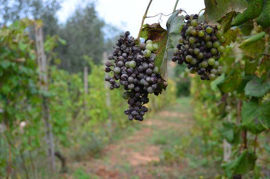grapes in Azienda Sacone