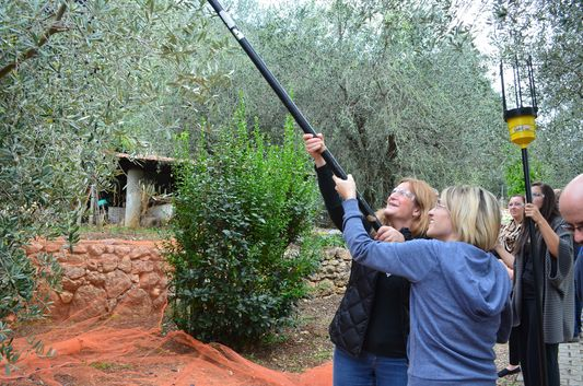 picking up olives with an electric stick