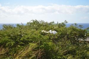 Cattle Egrets birds on St. Kitts island
