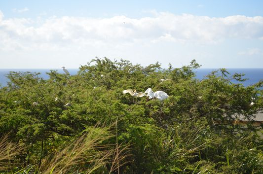 Cattle Egrets birds on St. Kitts island