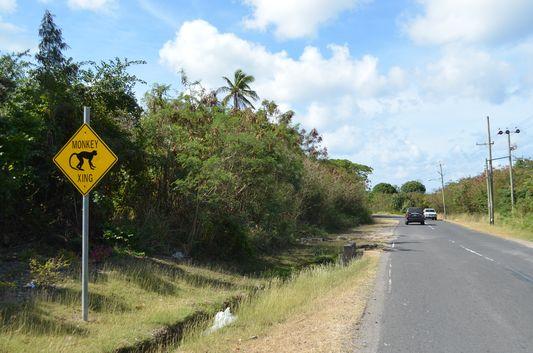 green vervet monkeys crossing the roads on St. Kitts and Nevis