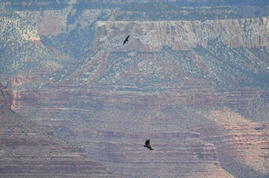 observing the condors from the Bright Angel trail