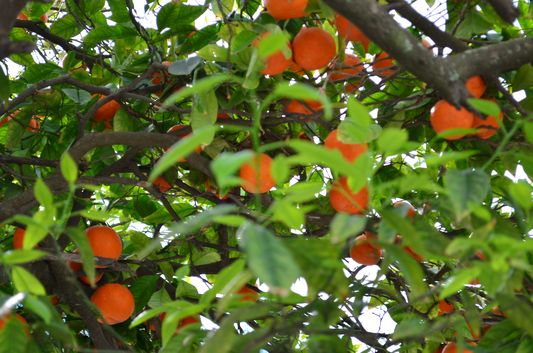 orange trees in Sidi Bou Said