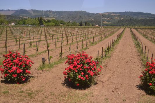 roses growing next to the grapes to predict insect attacks