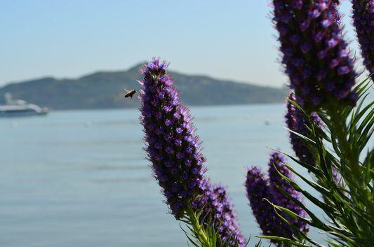 a bee visiting Sausalito too