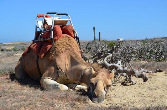 a camel resting
