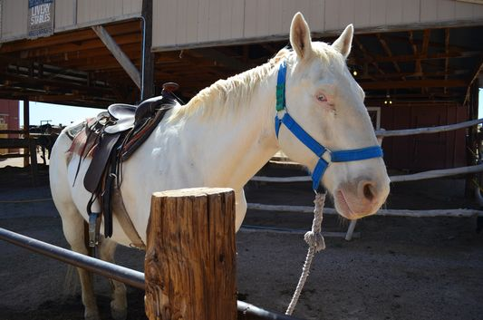 a completely white horse at Hualapai Ranch Grand Canyon West Rim