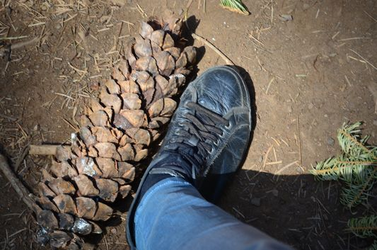 a massive pine cone in Tuolomne Grove