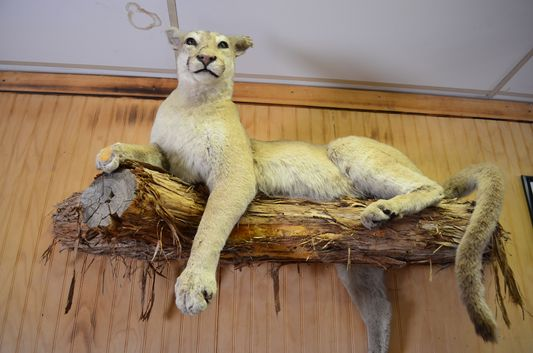 a mountain lion at Hualapai Ranch