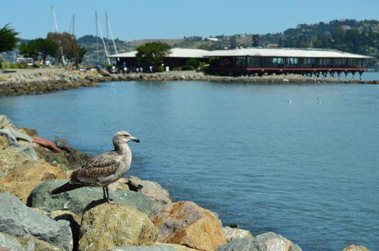 a seagull in Sausalito