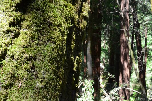 a tree covered with moss in Muir Woods