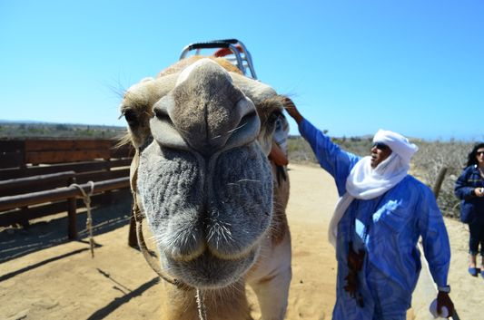 camel close-up with Sidi behind