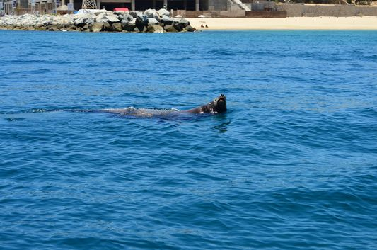 hey Panchito sea lion in Cabo San Lucas marina