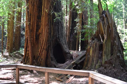 in the Cathedral Grove in Muir Woods