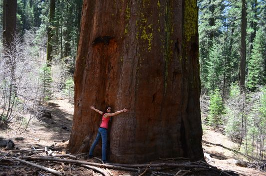 my first massive giant sequoia in Tuolomne Grove
