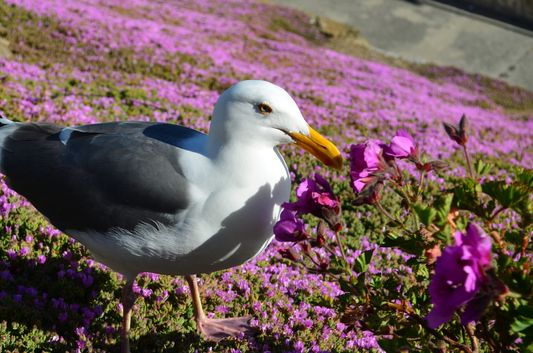 one of many sea gulls on Alcatraz island
