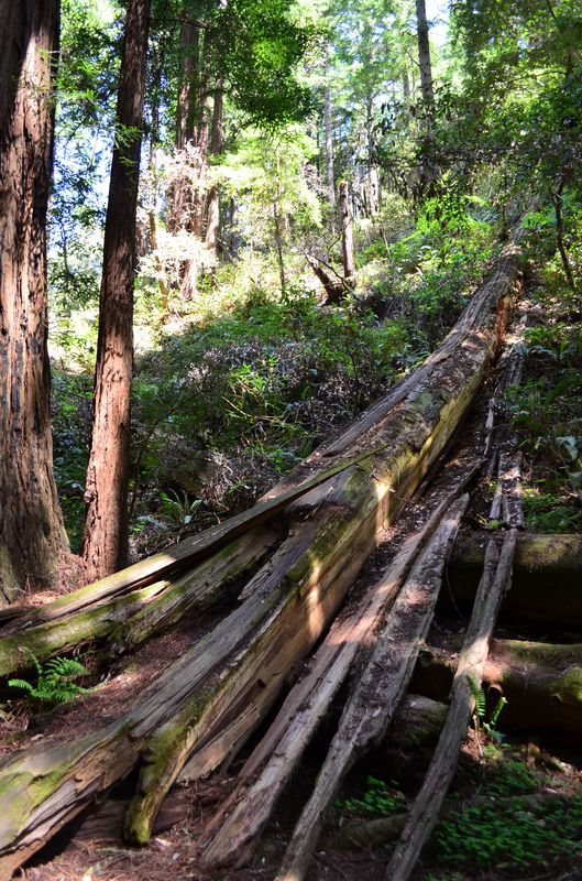 one of the fallen coastal redwood in Muir Woods