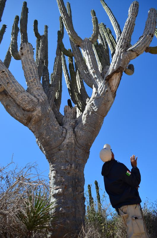 probably the biggest cardon cactus in Los Cabos