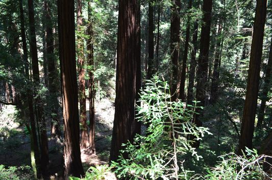 redwoods from Hillside Trail in Muir Woods