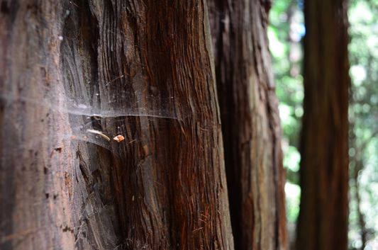 spider nets in Muir Woods along the Hillside Trail