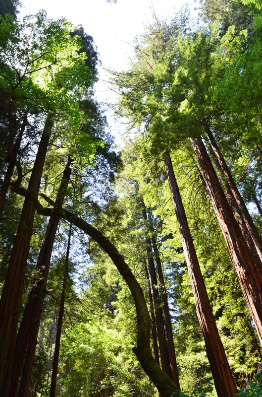 tall coastal redwoods in Muir Woods