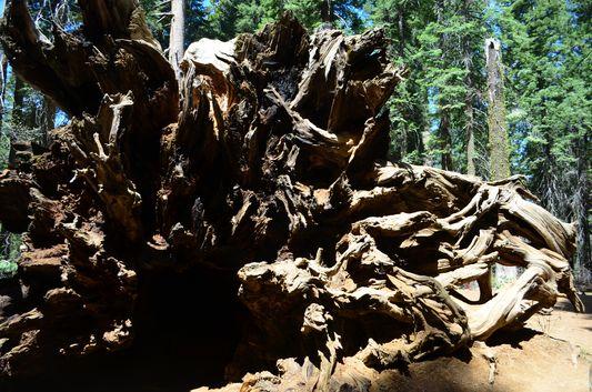 the fallen Giant sequoia Tuolomne Grove