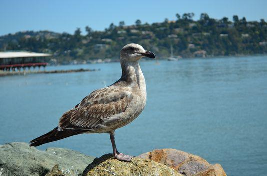 the same seagull