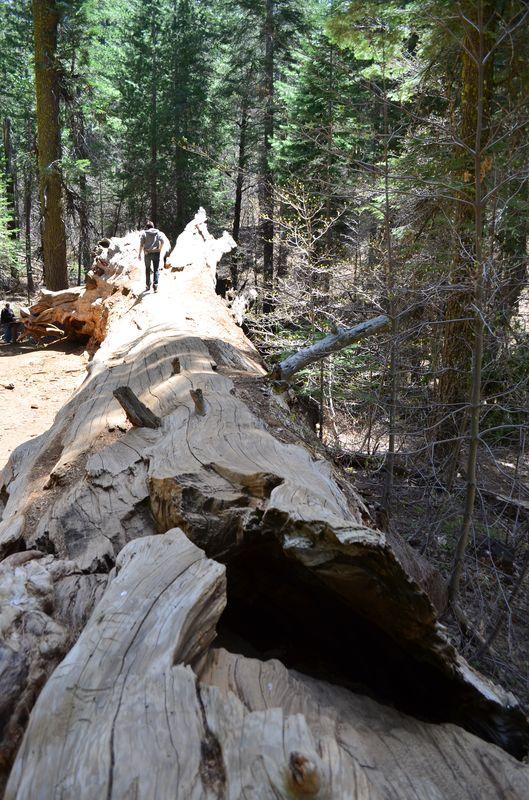 walking on top of the fallen giant sequoia trunk