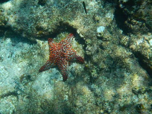 found a sea star when snorkeling