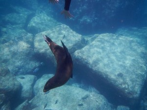 my first sea lion seen when snorkeling on Isla Espiritu Santo
