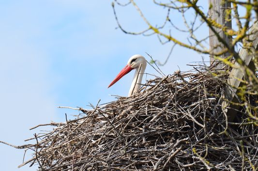 another beautiful stork in Aiguamolls