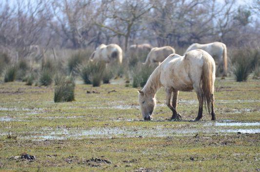 horses in Aiguamolls