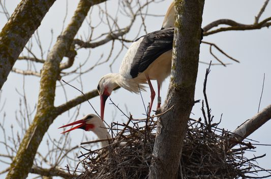 stork husbands in Aiguamolls