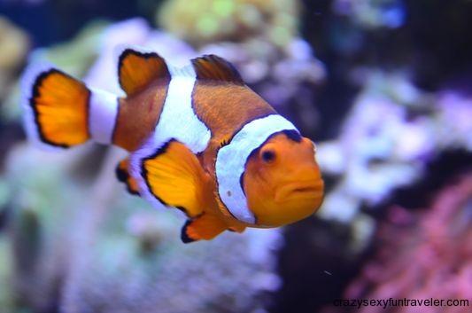 a nemo fish in Aquarium of the Bay San Francisco