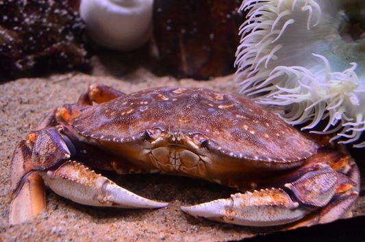 a pretty crab in Aquarium of the Bay