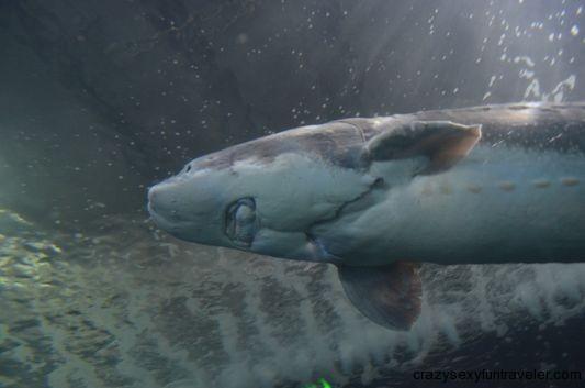 a shark in Aquarium of the Bay