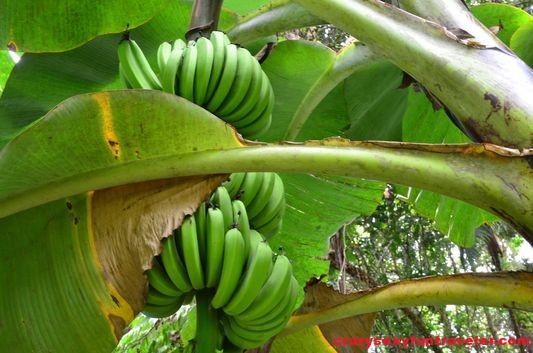 a banana tree