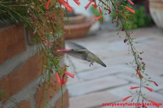 hummingbird drinking flower nectar