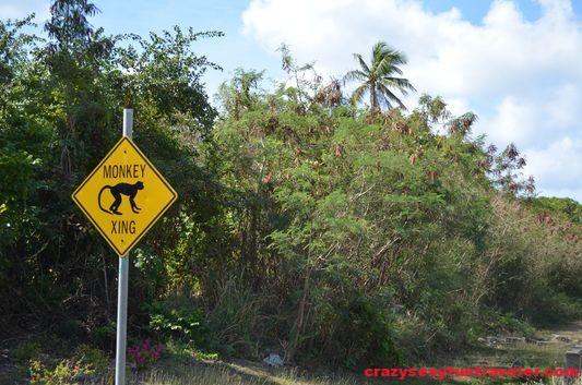 monkey crossing Nevis