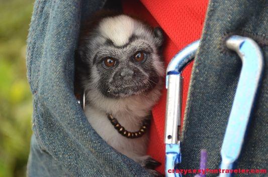 El Chakal's Tutti monkey (3)